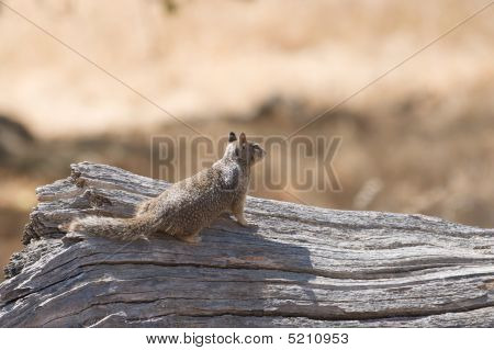 Squirrel surveys the land from the safety of a fallen tree