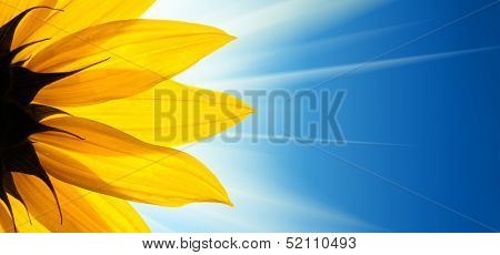 Sunflower flower over blue background