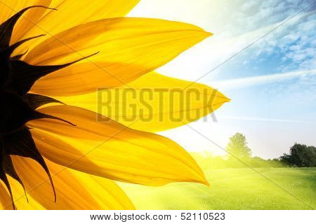 Sunflower flower over beautiful field landscape background