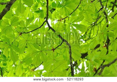 Beautiful Bright Chestnut Leaves Photographed Close Up