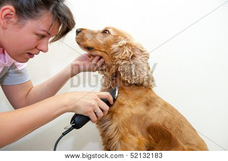 Female groomer haircut Cocker Spaniel