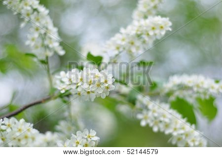 Beautiful White Spring Blossoms On Blurred Background