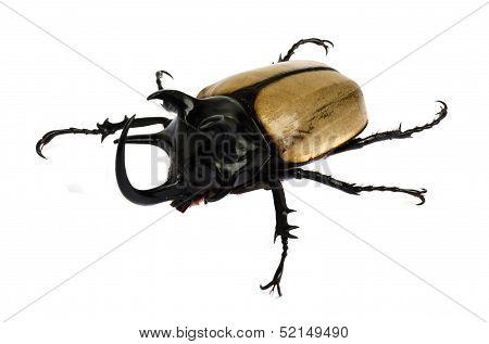 Rhino Beetle Bug.