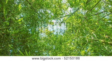 Bamboo Plants - Panorama