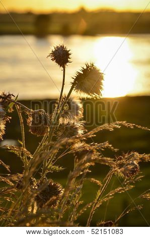 Evening sun in a field of thistle