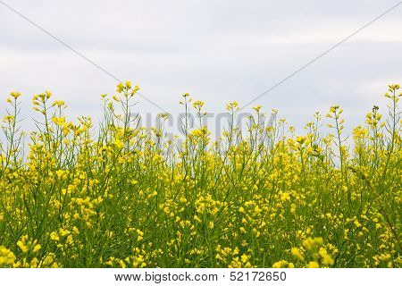 Yellow oilseed Rape Field close up shot
