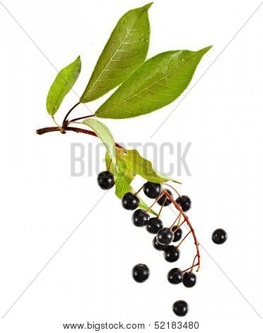 The branch of bird-cherry tree (Prunus padus) isolated on a white background