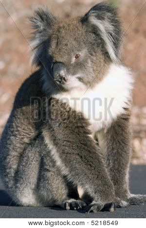 Koala Sitting On Road