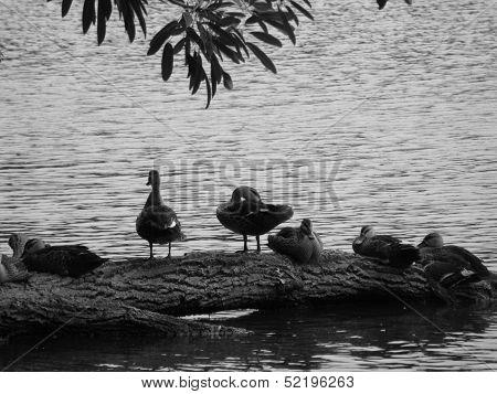 Ducks Resting on Fallen Branch