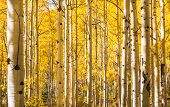 stock photo of wilder  - Aspen trees in Autumn - JPG