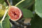 Fig On Tree Between The Leaves