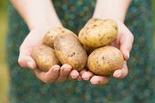 foto of grown up  - Hands holding some home grown organic potatoes - JPG