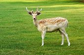 Beautiful Spotted Fallow Deer Buck