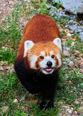 Red panda ( Ailurus fulgens) in wilderness