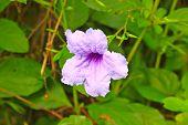 foto of tuberose  - Ruellia tuberosa flower blooming purple flower Ruellia tuberose Waterkanon Watrakanu Minnieroot Iron root Feverroot Popping pod Trai - JPG