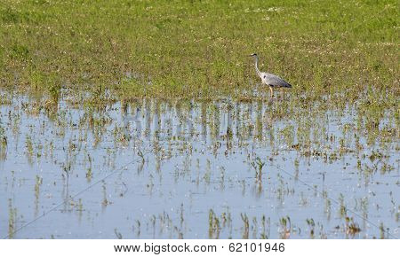 Great Grey Heron (Ardea cinerea)