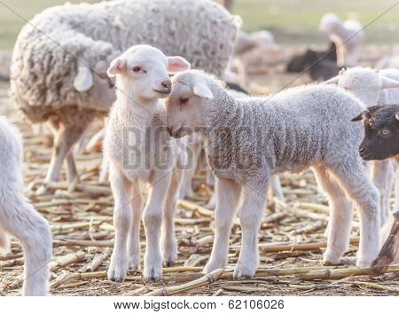 Cute little lambs at eco farm, from Tulcea, Romania.