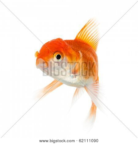 Close up of swimming goldenfish, isolated. Concept of wish fulfilment and natural beauty
