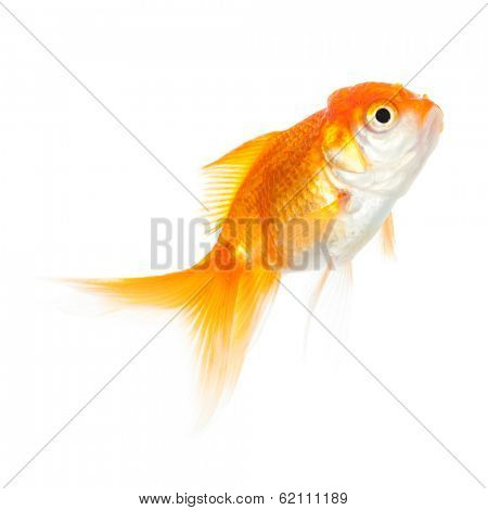 Close up of swimming goldenfish, isolated on white. Concept of wishes fulfilment and natural beauty