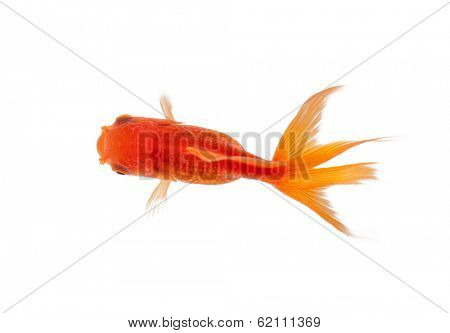 Close up of goldfish swimming in fishbowl, isolated on white. Concept of wild nature and environment