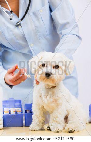 Veterinary treatment - vaccinating the Maltese dog