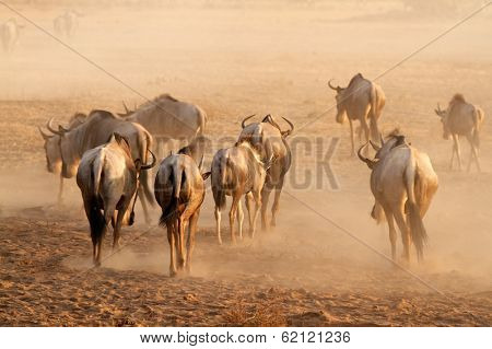 Blue wildebeest (Connochaetes taurinus) walking on dusty plains, Amboseli National Park, Kenya