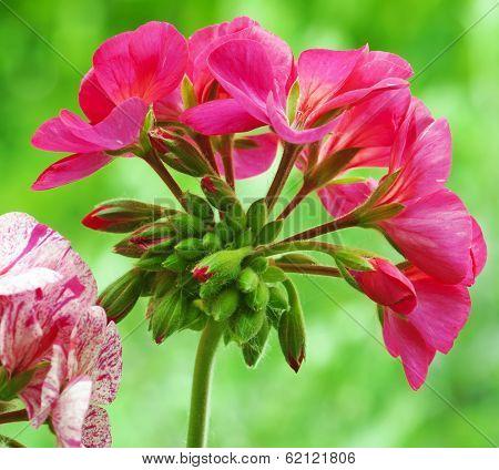 Red Pelargonium Flower
