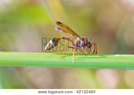 potter wasp on the tree branch