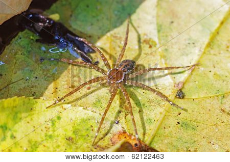water spider on the leaf in the water