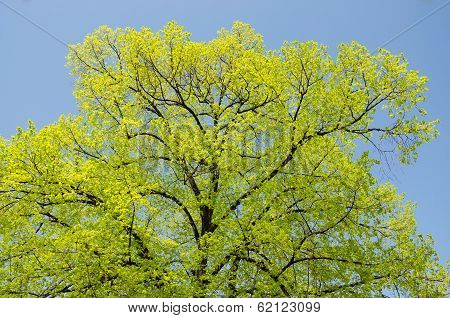 Crown Of Tree And Blue Sky In Spring