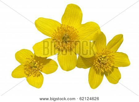 Flowers Of Kingcup