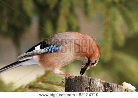 Eurasian Jay Feeding