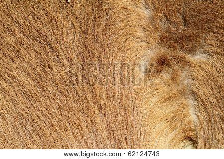 Pony Beige Fur