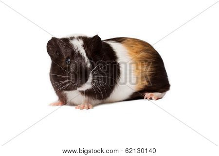 Small Colored Guinea Pig