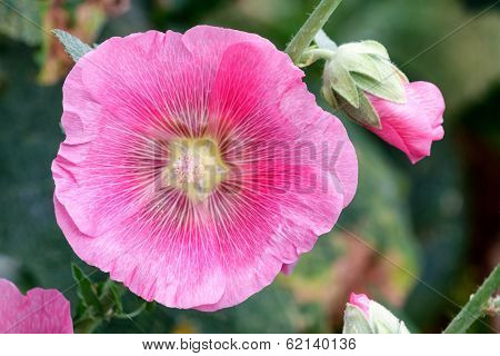 Pink Mallow (malva) In Summer