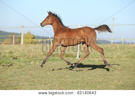 Perfect Arabian Horse Foal Running On Pasturage