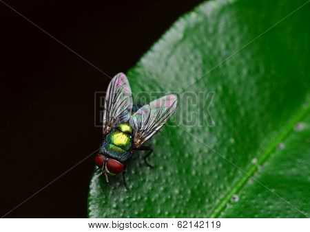 opalescant fly