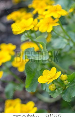 Yellow Blooming Hypericum