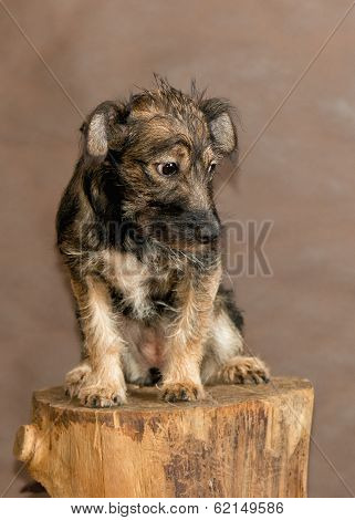 The young dog with rigid wool of a dark color