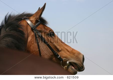 Calling Horse