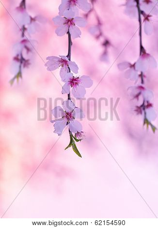 Cherry tree blossom, beautiful pink floral background, blooming nature, spring season, gentle flowers in Japanese fruits garden