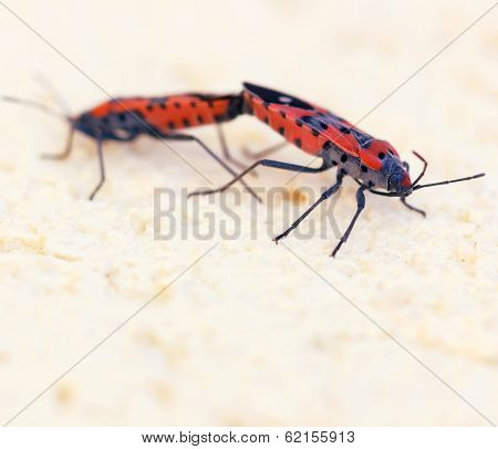 Macro Photo Of Two Fire Bugs While Mating