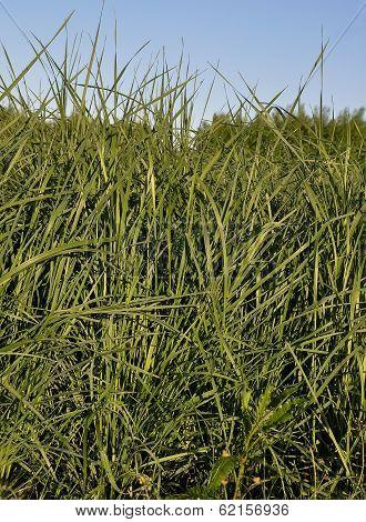 Tall Wheatgrass (agropyron, Elongatum)