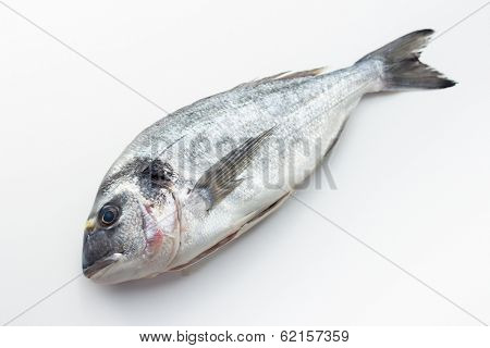 Gilt-head sea bream (Sparus aurata)