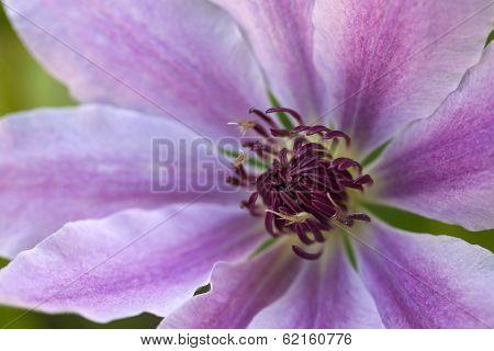 Clematis Flower In A Personal Garden