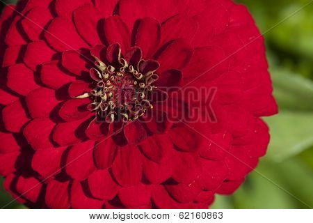 Chrysanthemum Flower In A Garden