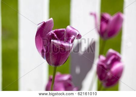 Purple Tulip Flower In A Garden