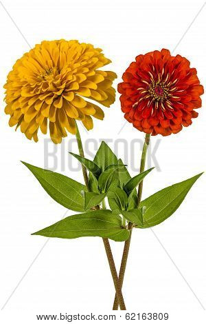Flowers Of Zinnia (lat. Zinnia), Isolated On A White Background