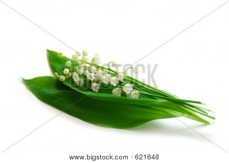 Lily Of The Valley On White