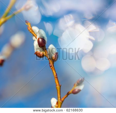Willow branch for spring background